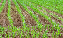 Corn crops growing in rows in Farmer& x27;s field Royalty Free Stock Images
