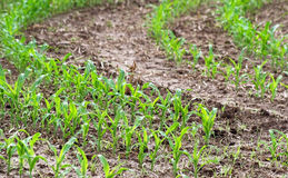 Corn crops growing in rows in Farmer& x27;s field Stock Photos
