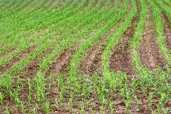 Corn crops growing in rows in Farmer& x27;s field Stock Photography