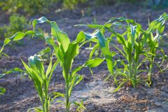 Corn crops growing in the vegetable garden outdoors. Corn plant. Space for text. Close up view royalty free stock image