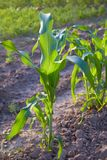 Corn crops growing in the vegetable garden outdoors. Corn plant. Space for text. Close up view stock photo