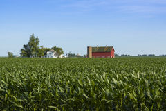 Corn crops Stock Images