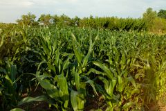 Corn crops on a row. Background Royalty Free Stock Images