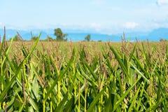 Corn crops at the shores of Lake LLanquihue, Chile. Corn crops at the shores of Lake LLanquihue, X Region de Los Lagos, Chile stock photos