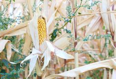 Corn crops on the stalk growing in the field Royalty Free Stock Images