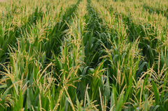 Corn. Cultivation of corn plants in flowering and pollination Stock Images