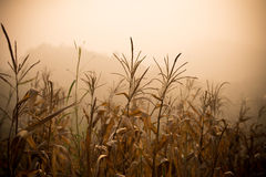 Corn dead - Drought Stricken Corn Stock Photo