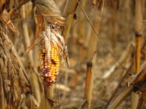 Corn destroyed by drought Stock Photos