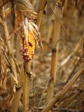 Corn destroyed by drought Stock Image