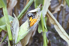 Corn diseases Royalty Free Stock Images