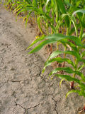 Corn and drought. Torrid land Royalty Free Stock Photography