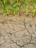 Corn and drought 2. Torrid land Stock Images