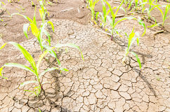 Corn on drought field Royalty Free Stock Photography