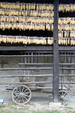 Corn dry Stock Photography