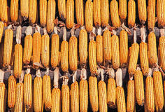 Corn drying Stock Photo