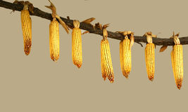 Corn drying Royalty Free Stock Photos