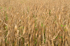 Corn drying in the fields Royalty Free Stock Image