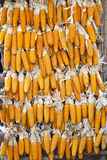Corn drying. After harvest Stock Image
