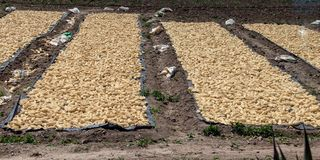 Corn Drying Near Machu Picchu. Rows of corn drying in the sun as seen from the train on the way to Machu Picchu, Peru stock photography