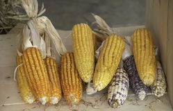 Corn drying on wood for the seeds to cultivate.  royalty free stock photos