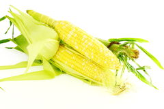 Corn ear closeup in pure white background Royalty Free Stock Image