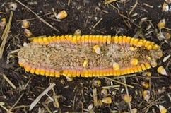 Corn ear disease Stock Images