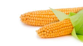Corn ear isolated Royalty Free Stock Images