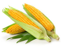 Corn. An ear of corn isolated on a white background Stock Photography
