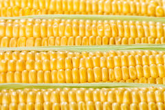 Corn ear kernels Stock Image
