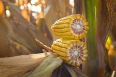 Corn ear Stock Photos