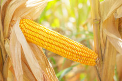 Corn ear on stalk. Corn ear on a stalk in harvest ready maize field, close up with selective focus Royalty Free Stock Photography