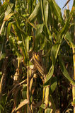 Corn ear vertical Royalty Free Stock Photography