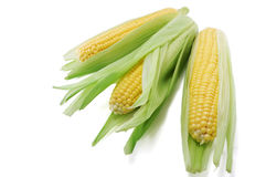 Corn ears royalty free stock photo