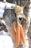 Corn ears. Stock Images