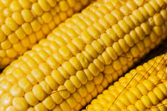 Corn ears Royalty Free Stock Images