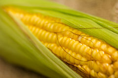 Corn ears. Ears of fresh corn. Close up of sweet corn Royalty Free Stock Image