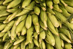 Corn Ears in Husks in a Pile stock image