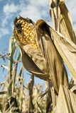 Corn, ears mature Stock Images