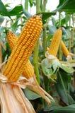 Corn ears Stock Photo