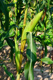 Corn ears on the stalk Royalty Free Stock Image