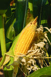 Corn ears on the stalk royalty free stock images