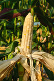 Corn ears on the stalk Stock Image