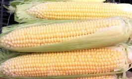 Corn ears. Three ears of corn. Horizontally Stock Images