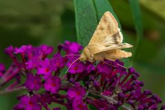 Corn Earwing Moth - Helicoverpa zea. Corn Earworm Moth collecting nectar from a purple Butterfly Bush flower. Also known as a Cotton Bollworm and Tomato stock images