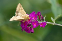 Corn Earwing Moth - Helicoverpa zea. Corn Earworm Moth collecting nectar from a purple Butterfly Bush flower. Also known as a Cotton Bollworm and Tomato royalty free stock image