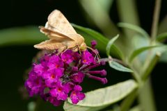 Corn Earwing Moth - Helicoverpa zea. Corn Earworm Moth collecting nectar from a purple Butterfly Bush flower. Also known as a Cotton Bollworm and Tomato stock photo