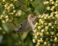 Corn-earworm Moth Stock Images