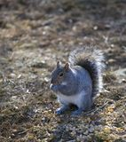 Corn eating squirrel Royalty Free Stock Images