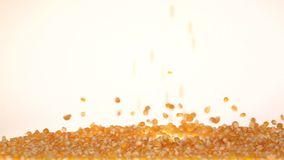 Corn fall and form a pile. Slow motion. White. Close up. Shelled corn grain piece falling loose down, corn kernels scattered on the surface, orange corn fall and stock footage