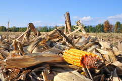 Corn fall after harvest Stock Photos
